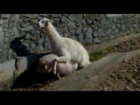 Llama Pig Love Minsk