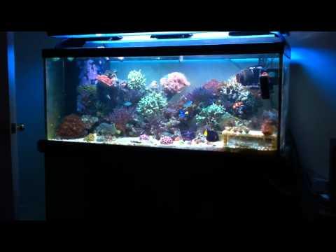 Blue throat trigger in reef tank