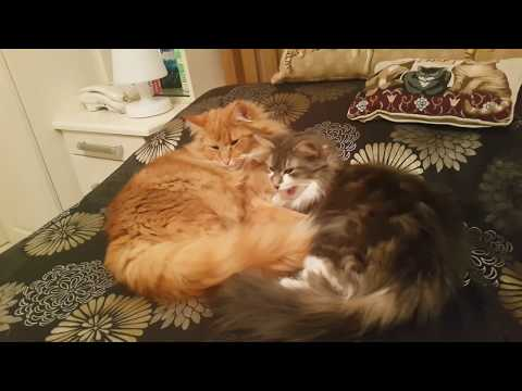Norwegian Forest Cats - 5 Mins Of Cleaning eachother