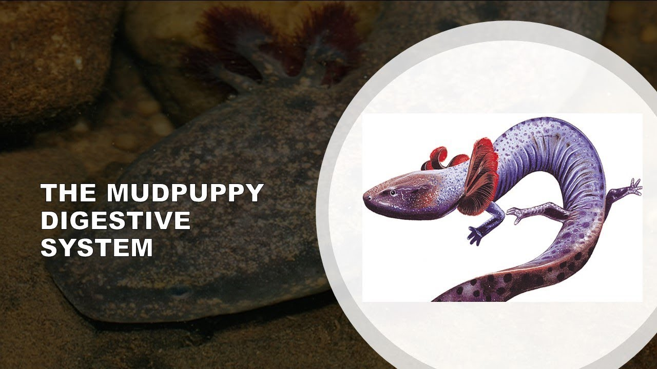 THE MUDPUPPY DIGESTIVE SYSTEM - YouTube