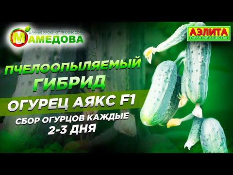 Сбор Огурцов Каждые 2-3 дня. Пчелоопыляемый Гибрид Огурец Аякс F1 | выращивание | теплице | огурцов | аякс | в | f1
