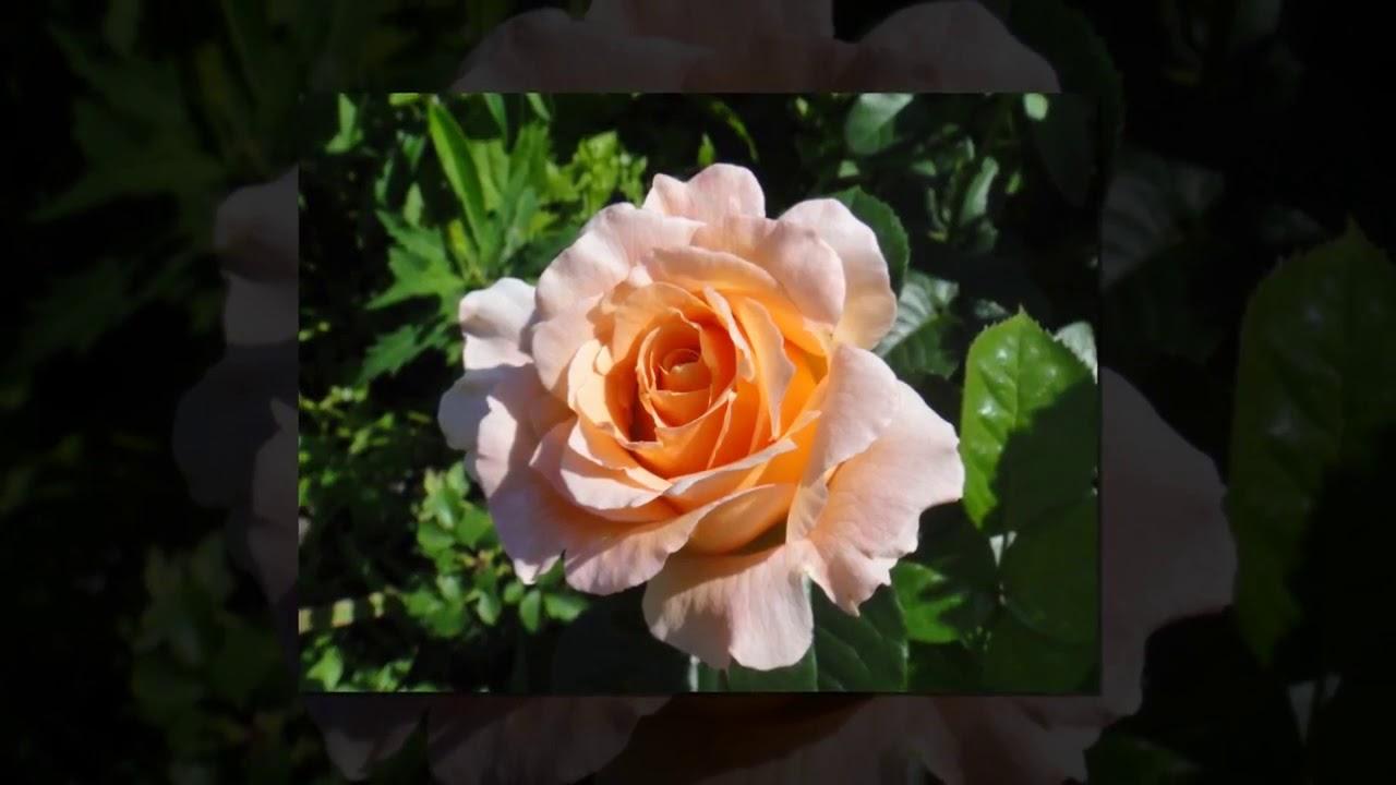 Rose Cesar (Роза Цезарь) - YouTube