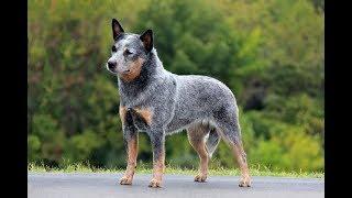 Pierwszy w Polsce program poświęcony psom rasy Australian Cattle Dog - STREFA ZOOLOGICZNA - M.Sawa