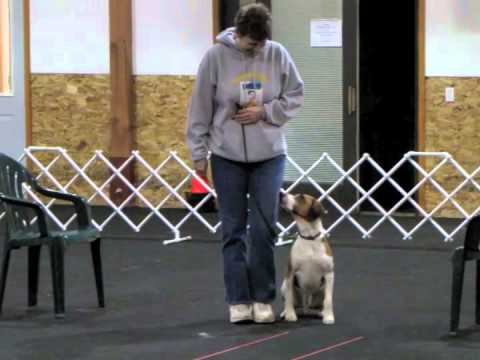Harrier Vinny's Beginner Novice Obedience Training