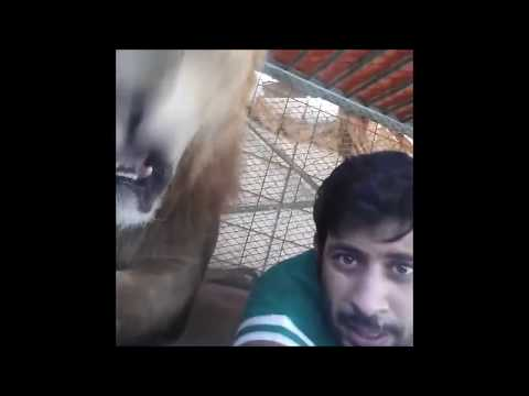 Thumbnail: Dubai Prince playing with his pet lions. Friends vitaly get chased and ass bitten by his lions!!