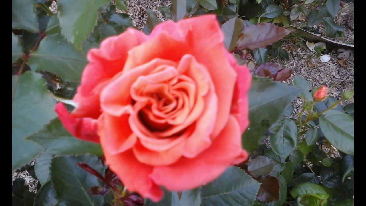 Интернет магазин саженцев роз розалия. Большой выбор саженцев роз с доставкой по почте в украине: ✓розы элитных сортов ✓высокого качества ✓ продажи оптом и розница.
