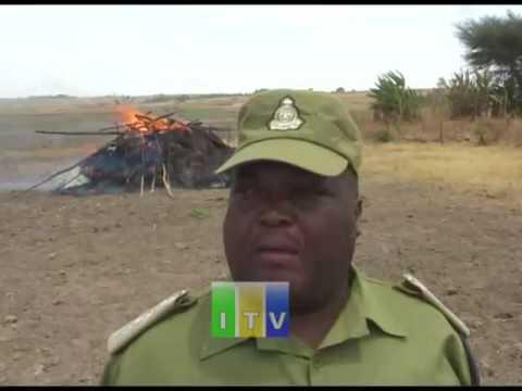 Jeshi la Polisi limekamata na kuteketeza mashamba ya bangi mkoani Rukwa.