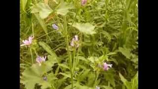 http://www.mathstrength.com- Nalba   -Planta medicinala -Farmacia naturii