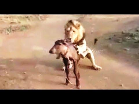 बब्बर शेर ने भेसे के बच्चे का किया शिकार । Asiatic lion was hunt baby buffalo in Gir forest