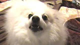 Pomeranian Barking At Tv (hq)
