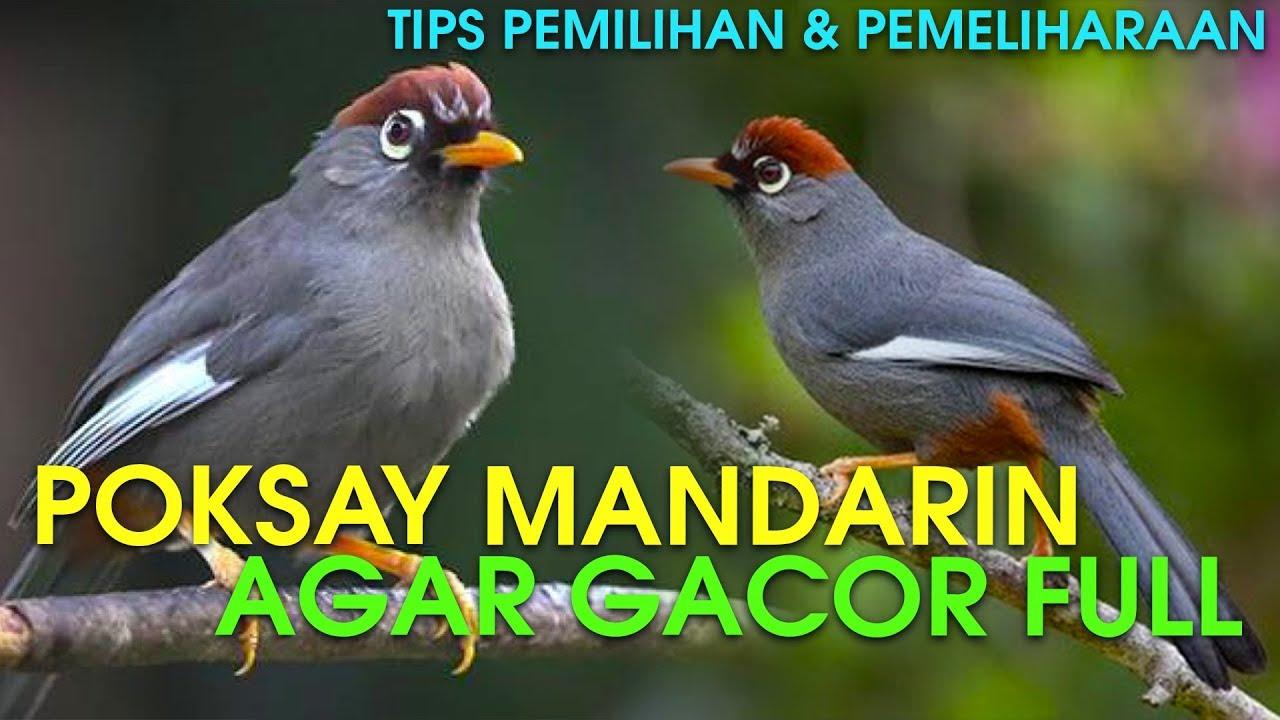 Tips Memilih Merawat Burung Poksay Mandarin Agar Gacor Youtube
