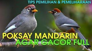 MEMILIH & MERAWAT BURUNG POKSAY MANDARIN AGAR GACOR