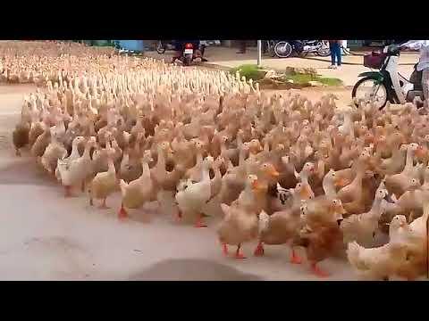 download Duck herding
