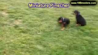 Miniature Pinscher, Puppies, For, Sale, In, Washington Dc, Fort Totten, Mclean Gardens, Wesley Heigh