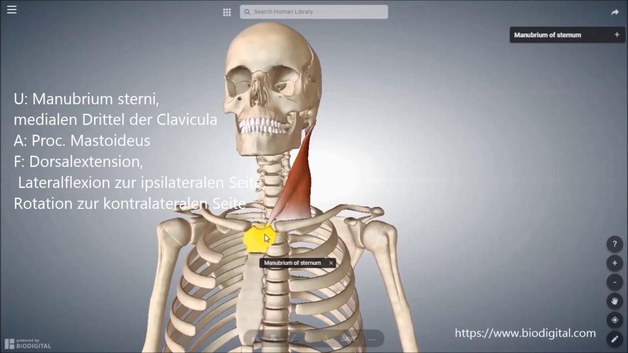 M.sternocleidomastoideus - YouTube