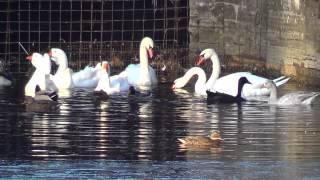 Гуси-Лебеди, и прочие утки. СПб.22-10-2013г