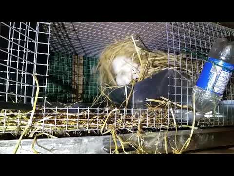 Rabbits From Start To Finish:  Nest Building And Baby Bunnies