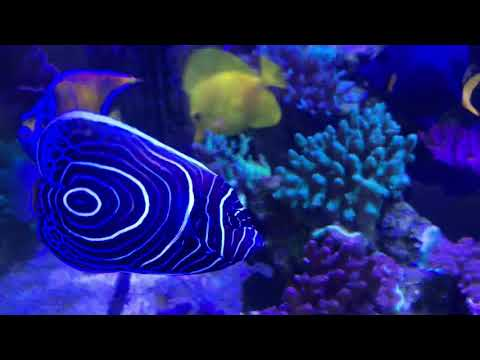 Do Angelfish Eat Coral?