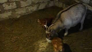 В чем смысл содержания камерунских коз. Мое мнение )