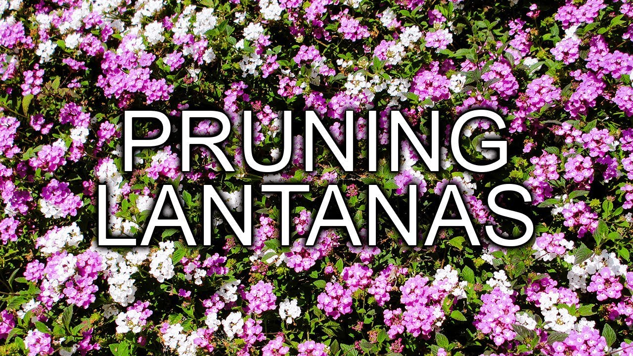 Pruning 2 Different Types Of Lantanas In Spring Youtube