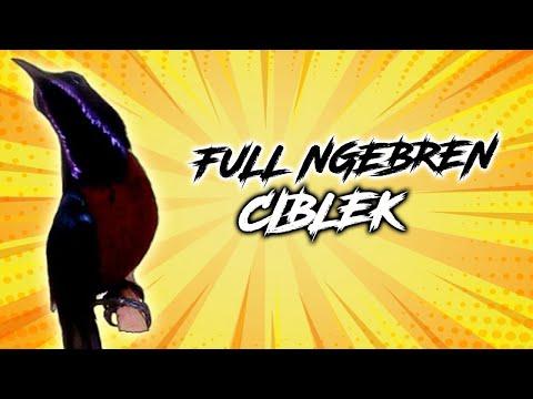 kolibri-ninja-ngebren-rasa-ciblek-paling-jernih-gacor-panjang- -masteran- -sunbird- -nectariniidae- 