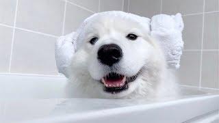 ENG Sub] cute samoyed takes bath
