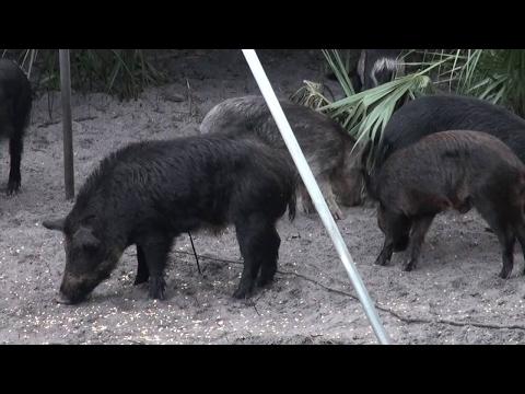 Wild Boar On The Corn Buck One shot fell hard - Wild Boar Hunt