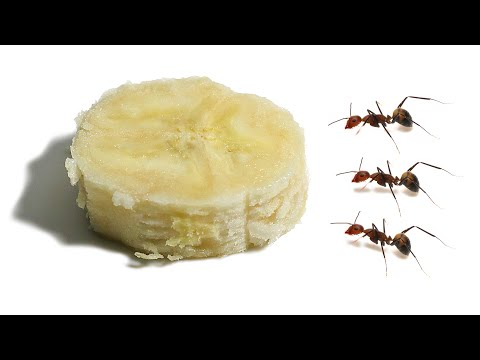 ants-vs-banana-timelapse