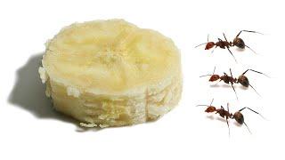 Ants vs Banana Timelapse