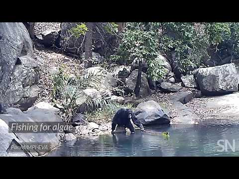 Watch some behaviors that may be evidence of chimp culture | Science News