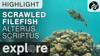 Scrawled Filefish Aluterus Scriptus - Cayman Reef - Live Cam Highlight thumbnail