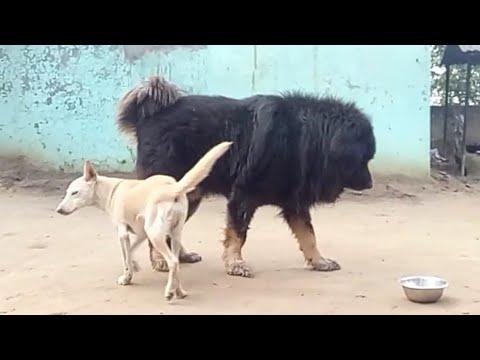 Gaddi And Tibetan Mastiff Dogs (Nazz Kennel ) Big Size Best Quality