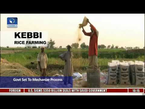 Kebbi Rice Farming: 250,000 Hectares Still Manually Cultivated