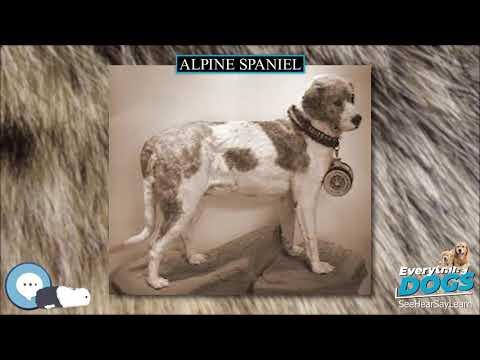 Alpine Spaniel  Everything Dog Breeds