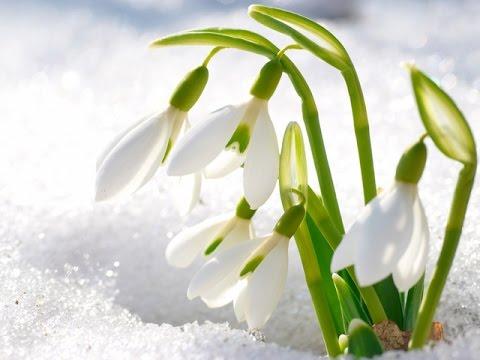 подснежники цветы фото