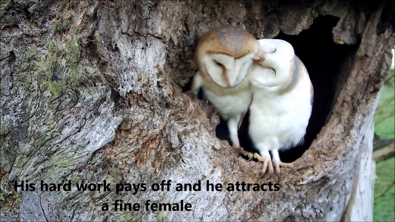 Bringing Up Baby: How barn owls do it - YouTube