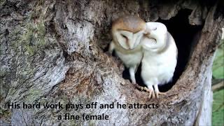 Bringing Up Baby: How barn owls do it thumbnail