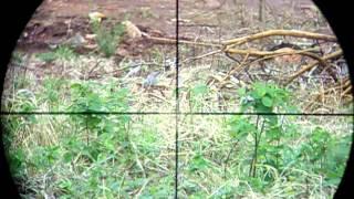Magrão Sniper(Gamo em ação)