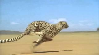 120 км/ч за 2 секунды - это ГЕПАРД !