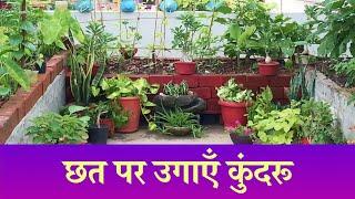 Roof top garden |grow organic | छत पर उगाएँ कुंदरू
