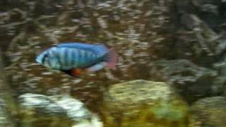Neochromis onmicaeruleus