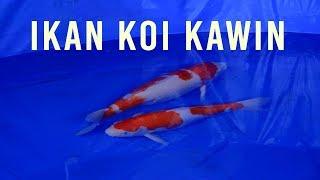 Proses Mengawinkan Ikan Koi | Pemijahan Ikan Koi Part 3