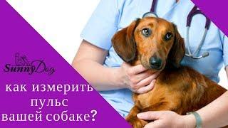 Как измерить пульс вашей собаке? Первая помощь, мерим пульс.
