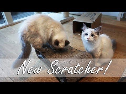 RAGDOLL KITTENS - New cardboard scratcher