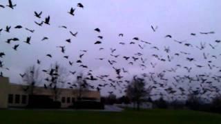 Huge flock of geese!