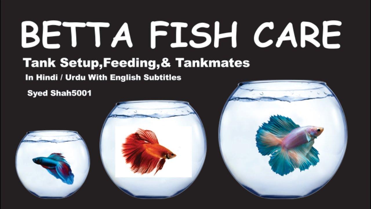 How to care Betta fish guide Hindi Urdu English sub #Bettafishcare - YouTube