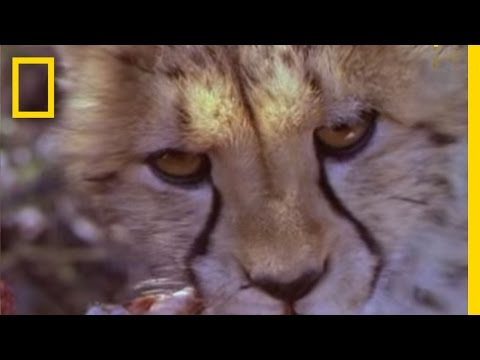 Fast and Furious - Lives of Cheetahs | National Geographic