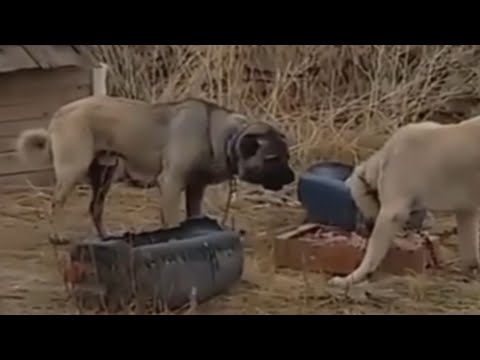 KaNGaL protects her puppy against Sheep
