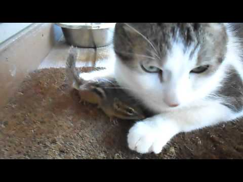 Cat and chipmunk play nice then it escapes