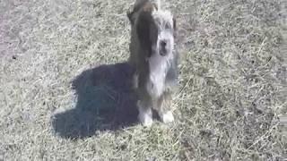 珍犬チベタンテリア7ヶ月の仔犬公園 にて訓練.